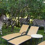 Zebras roaming around the hotel pool