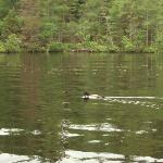 a loon on Lake Thompson