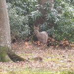 Deer in Storrs Hotel garden