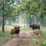 A group of Gaur or Indian Bison