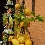 Enormous Lemons in Sorrento