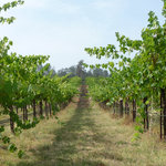 Madera County Vineyard