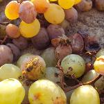 Passito grapes laid out to dry in the sun