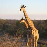giraffe del Ruaha