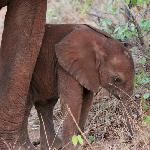 Smallest elephant I have ever seen - 21 days old