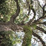 Fairchild Oak, by PMAcontact
