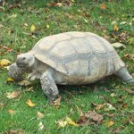 African Spur Tortoise