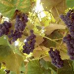 grapes outside our room