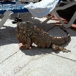 PLA house iguana
