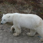 Classic Canadian Tours Polar Bear Safari Foto