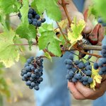 Grape picking in the Loire Valley (contact Sarah-Jane for details)