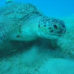 giant turtle in Marsa Alam