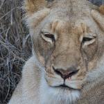 Lioness at Kapama