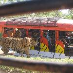 Tigers waiting for their merienda treat