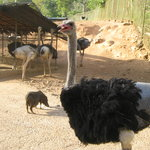 Ostrich in the open
