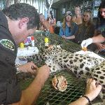 Leopard rescue, being checked was later released