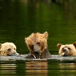 Grizzly mom and cubs