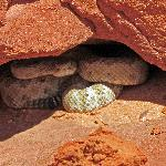 We saw this guy on the return trip (Northern Mojave Rattlesnake)