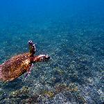 carey turtle