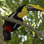 Toucan Nest in the Trees of the Hotel
