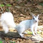 The white squirrels