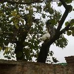 pavoni sull'albero