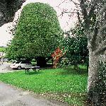 "Historic ""Bucket Tree"" 1850s"