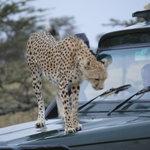 Guepardo encima del vehiculo del Cheetah Tented Camp