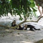 Monkeys playing on the beach