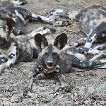 Rare and wonderful African Painted Dog.