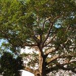 the Samaúma Canopy