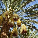 un palmier de l'oasis