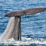 Sperm whale tail fin
