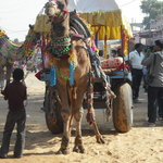 Camel cart transport to fair