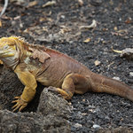 Our only chance to see a land iguana in the Galapagos