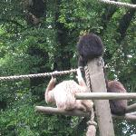 Les gibbons du parc zoologique de Lille