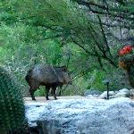 The wild javelina as viewed from my patio!