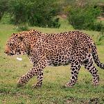 leopard on the fringe of the camp