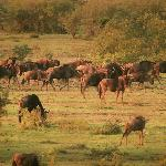 wildebeest seen from tent 8