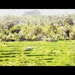 Rice terraces - Denpasar