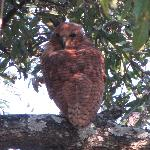 rare fishing-owl