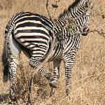 itchy zebra