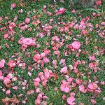 Camellias blossom in winter
