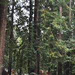 Ripplewood Redwoods