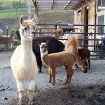 Alpaca's outside the barn area.