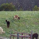 Alpacas out in the pasture.