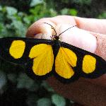 Tigre Butterfly, Yungas, Bolivia