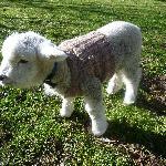産まれて2週間の子羊