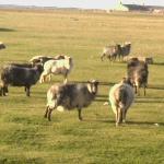 The Rare Sheep of North Ronaldsey