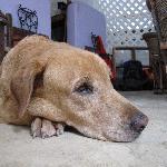 Nohotsch, Hund des Besitzers von Amaranto